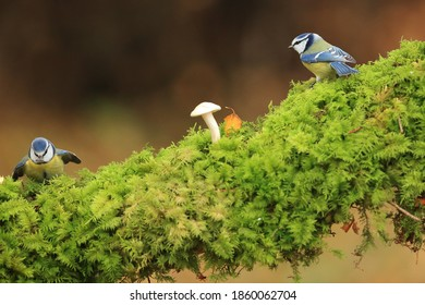 Two Blue tits among the mushrooms in the forest