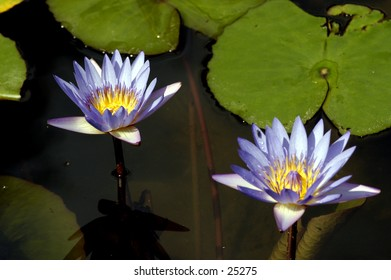 Two Blue Water Lilies.