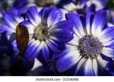 Two blue and white cineraria flowers after rain