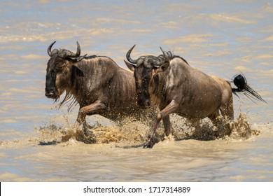 Two blue wildebeest gallop through shallow lake
