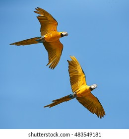 Two Blue-and-yellow macaws, Ara ararauna, pair of vibrant blue and yellow parrots, isolated birds flying together against clear blue sky with outstretched wings. Action view. Pantanal, Brazil.