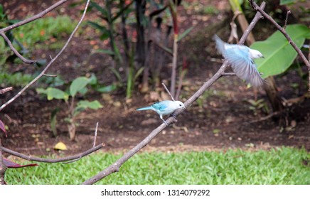 Two Blue-gray tanagers, one in flight and one perched on a branch