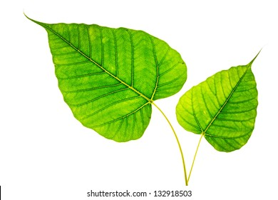 Two Bodhi or Sacred fig leaf on white background