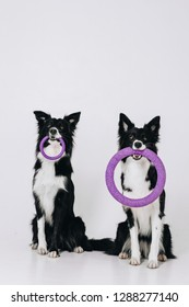 Two border collie dogs sit and hold puller toy in teeth. Dog friends. Dog twins. Studio portrait isolated on white background.