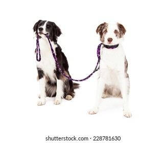 Two Border Collie Dogs taking each other for a walk. One dog is holding lead in its mouth while the other dog has lead attached to the collar.