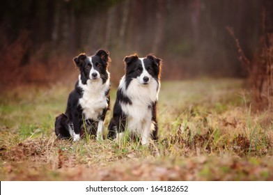 Two Border Collie in the woods