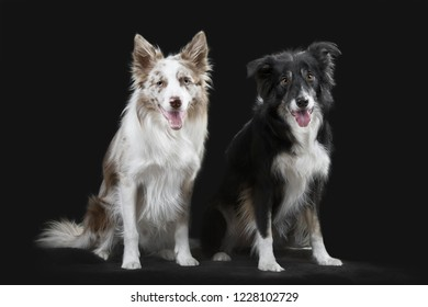 Two border collies on the gray background