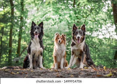 Two border collies and a sheltie sitting in the forest and looking at the camera