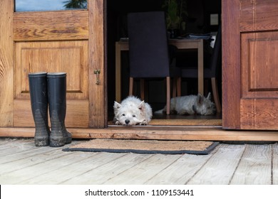 Two bored westies inside a farmhouse, laying on the floor by a door looking outside - landscape orientation - photographed in New Zealand, NZ
