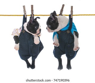 two boston terrier pups hanging on the clothes line on white background