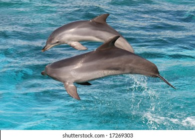 Two bottlenose dolphins leaping out of the water