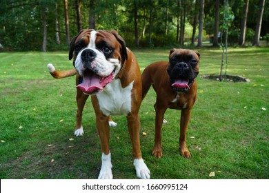 Two boxer dogs playing and having fun
