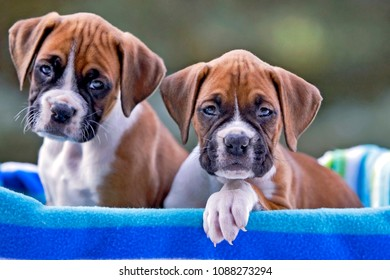 Two Boxer Puppies , eight week old, sitting together in basket