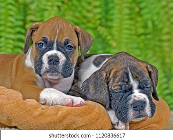Two Boxer Puppies few weeks old laying on blanket, one sleeping
