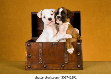 Two Boxer puppies hugging each other while sitting in old wooden box treasure chest on gold brown background