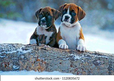 Two Boxer Puppies sitting together in snow by poplar log