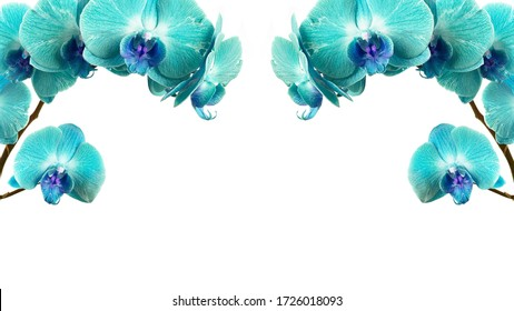 two branches of aquamarine orchid on a white background
