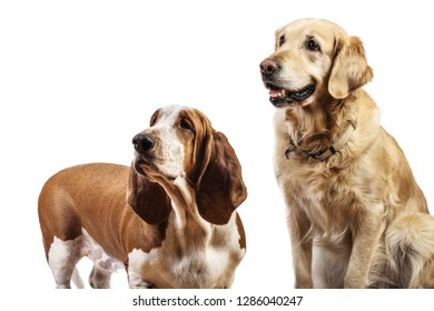 Two breed dogs and pedigree staring at something with white background. Basset Hound and Golden Retriever sitting looking with endless background