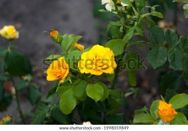 two-bright-yellow-golden-hybrid-600w-199