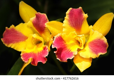 Two bright yellow and red orchids against a dark background.