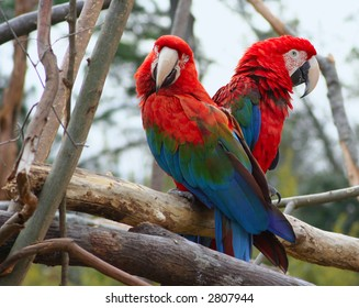 Two brightly colored macaws