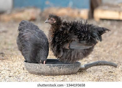 Two bristling black hens standing in a drity pan