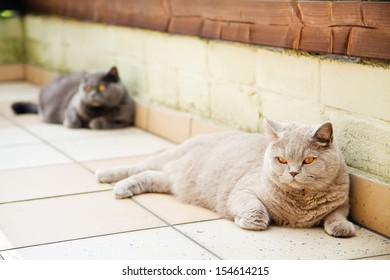 two british cats - lilac and grey, lying on a floor, focus on the lilac one - Shutterstock ID 154614215