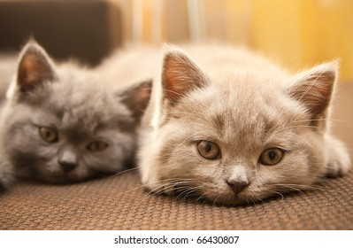 two british kittens - lilac and grey, looking at the camera, focus on the lilac kitten