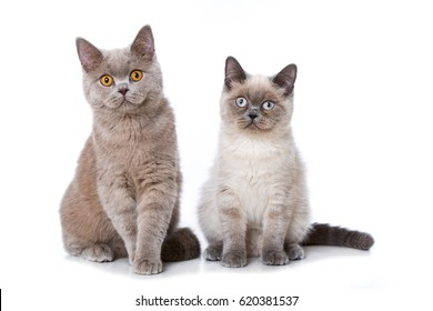 Two british short hair cats