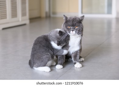 Two British short-hair cats in a fight
