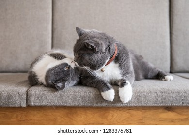 Two  British short-haired cats, indoor shooting