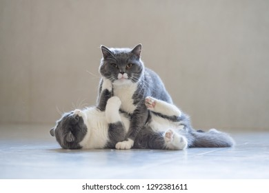 Two British short-haired cats playing, indoors