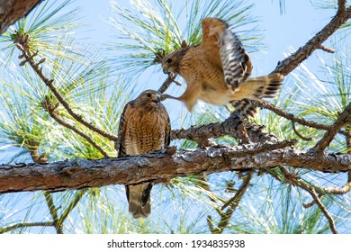 Two Broad Winged Hawks mating in a mossy cypress tree in Wilmington, NC