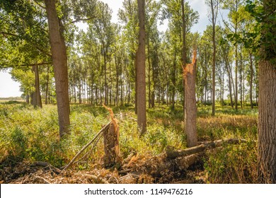 Two broken trees in a forest in the Netherlands. The trees have been broken down by a violent thunderbolt.