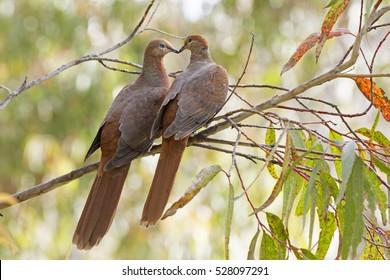 Two Brown Australian Cuckoo Doves (Macropygia Amboinensis Columbidea) on the branch of a gum tree