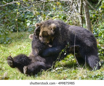 Two brown bear cubs play fighting