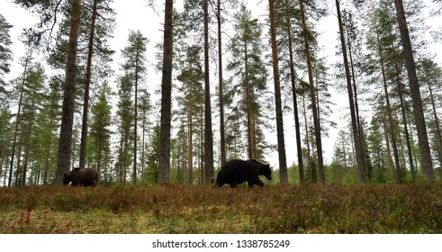 Two brown bear walking in a forest landscape. Wide angle view of brown bears in forest.