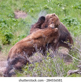 Two brown bears fighting over a female