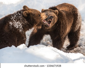 two brown bears fighting in the snow in winter - National Park Bavarian Forest - Germany