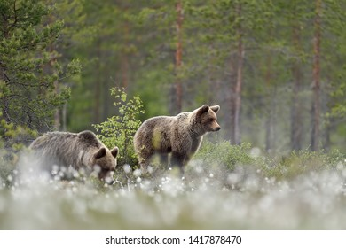 Two brown bears with forest background