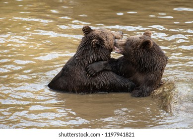 Two brown bears are playing fight in the water in Bayerischer Wald National Park, Germany