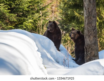 two brown bears in the snow in winter - National Park Bavarian Forest - Germany