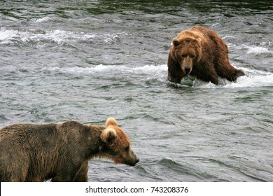 Two brown bears staking out their territory waiting for spawning salmon