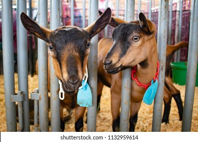 Two Brown and Black Goats Look through the Fence of their Pen at the San Diego County Fair, California, USA