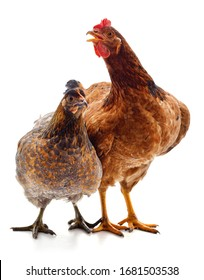 Two brown chicken isolated on white background.