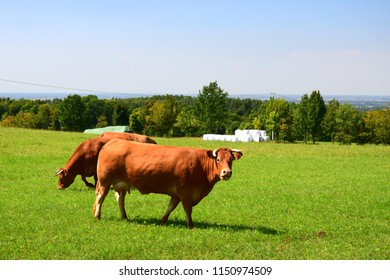 Two brown cows grazing on the green field near a lush forest with one of the cows looking straight up and the other one eating grass during a hot summer day in Poland