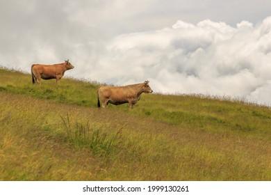 Dos vacas marrones en la montaña verde con nubes de lluvia en el fondo