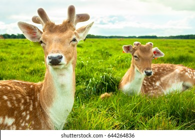 Two Brown Deers Laying on Grass at Phoenix Park, Dublin