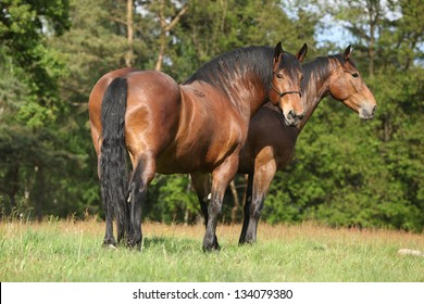 Two brown draft horses standing on pasturage while one of them is looking at you