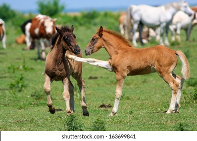 Two brown foals playing on pasture, one teasing the other